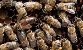 Опис сірої гірської кавказької породи бджіл, відгуки бджолярів