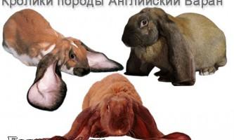 Опис висловухих кроликів породи баран: зміст, розведення