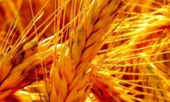Система заходів захисту пшениці від хвороб