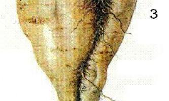 Визначення коренеплодів по листю і коріння