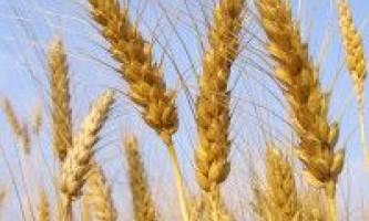 Визначення м`якої та твердої пшениці по колосу і зерна