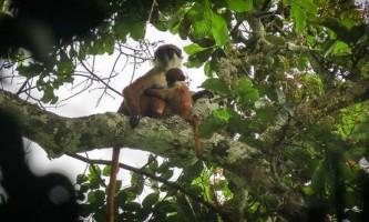 Опубліковано перший в світі знімок нібито зниклої мавпи з конго