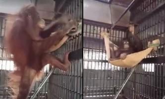 Орангутан з тайського зоопарку винайшла гамак