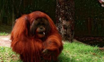 Орангутан став прийомним батьком двох левенят