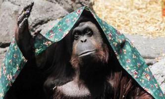 Орангутанга з аргентини наділили правами людини