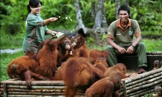 Орангутанги з острова борнео