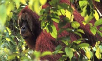 Орангутанги здатні планувати свої дії