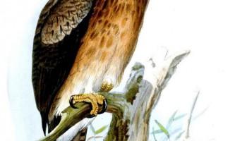 Орел герні - хижий птах