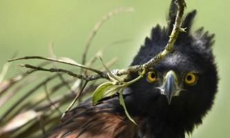 Орел ісидора - красива могутній птах