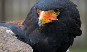 Орел-скоморох - звідки у птиці таку назву?