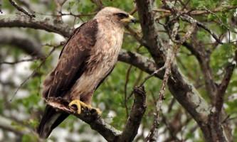 Орел уолберга - срібляста птах в небі