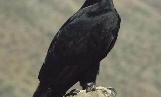 Орел верро - кафрский орел