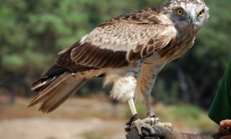 Орел-змієїд - винищувач повзучих гадина