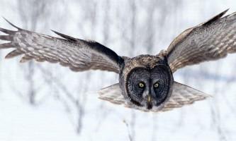 Органи почуттів сови - загадки мудрого птаха