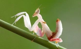 Орхідейний богомол забарвленням і формою тіла схожий відразу на 13 видів орхідей