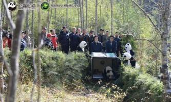 Панду чжан сян випустили в дику природу