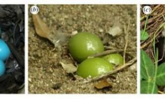 Орнітологи вперше описали райдужну шкаралупу, яка міняє колір
