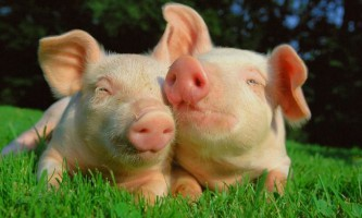 Запліднення свиней. Полювання у свиней
