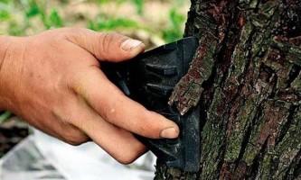 Осіння побілка дерев вапном