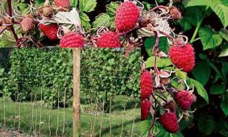 Осіння посадка малини