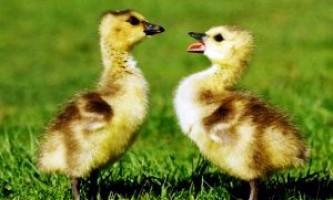 Основні відмінності гуски і гусака