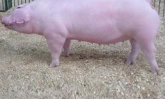 Основні вимоги до утримання, годівлі та розведення свиней породи ландрас