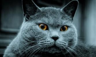 Основи виховання британських кішок (частина-1)