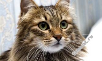 Особливості характеру та поведінки сибірських кішок