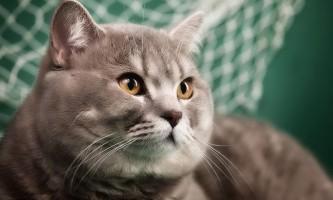 Особливості характеру шотландських прямоухих кішок скоттиш страйт