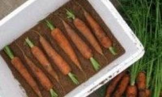 Особливості зберігання моркви