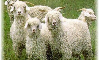 Особливості годування ангорських кіз