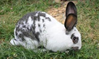 Особливості кроликів породи метелик