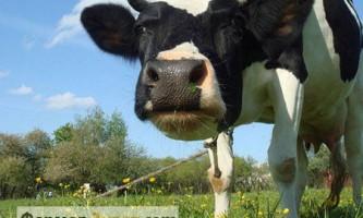 Особливості лептоспірозу великої рогатої худоби і методи лікування