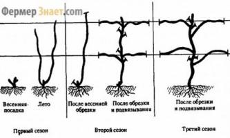 Особливості обрізки виноградної лози навесні
