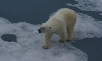Особливості полювання білого ведмедя