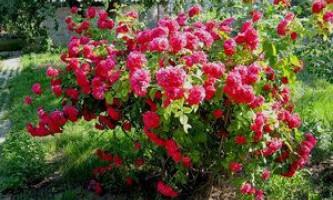 Особливості підготовки троянди до зими, необхідні знання для кожного садівника