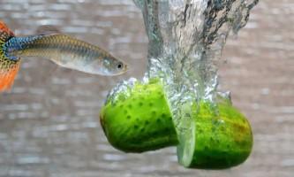 Особливості рослинної їжі для рибок