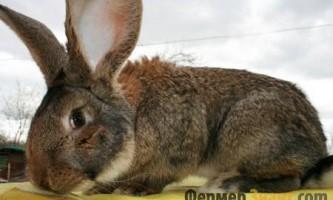 Що слід знати про кроликів породи ризен