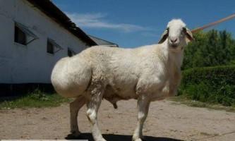 Особливості розведення курдючних овець