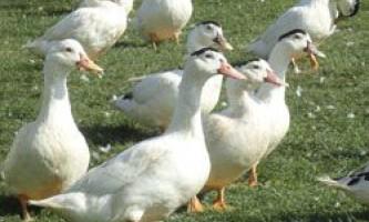 Особливості розведення качок породи мулард, зміст і годування в домашніх умовах