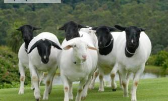 Найцікавіше про найбільш поширених породах овець