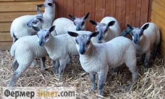 Особливості утримання і вирощування овець в домашніх умовах