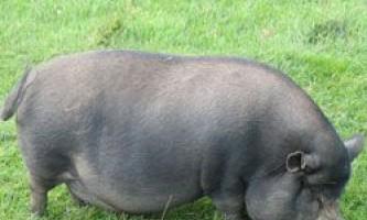 Особливості змісту, розведення і годування в`єтнамських вислобрюхих свиней і поросят