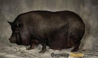 Особливості змісту в`єтнамських вислобрюхих свиней
