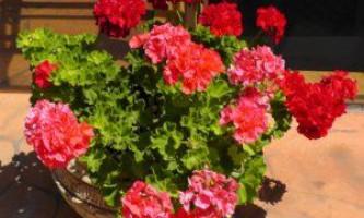 Особливості догляду за геранню, як виростити кімнатна рослина