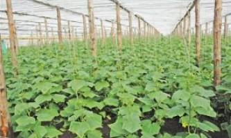 Особливості вирощування огірків в теплиці