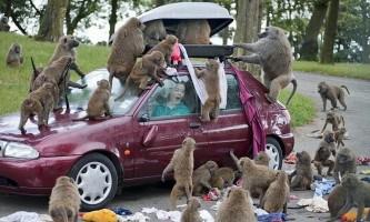Обережно бабуїни!