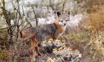 Острівна сіра лисиця - найдрібніша лисиця сполучених штатів