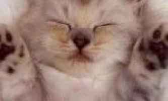Від чого і в які терміни робити щеплення кошеняті