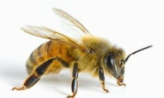 Відбір бджіл